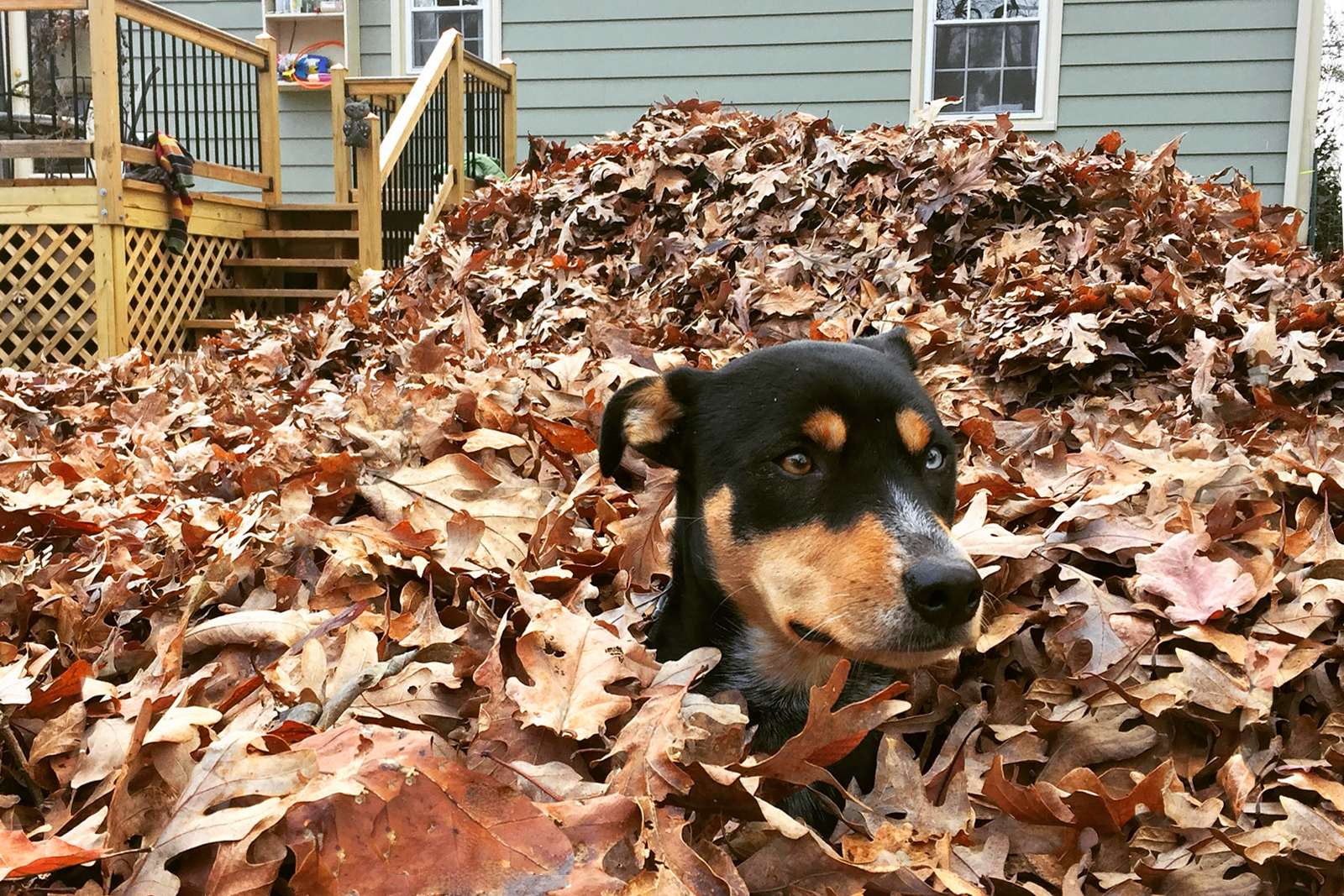 Dog in a pile of autumn leaves