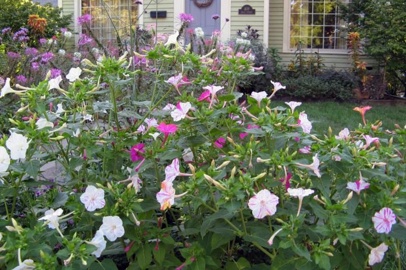 Four O'Clocks | Drought Resistant Plants