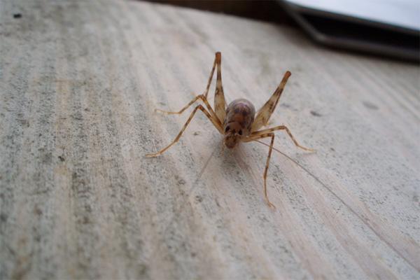 A spricket, also known as a camel cricket, on a desk