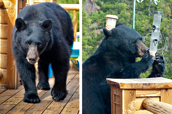 How to Bear-Proof Your Property | Bear Deterrents | HouseLogic
