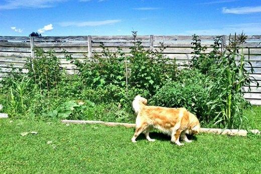 A dog near a homeowner's garden bed