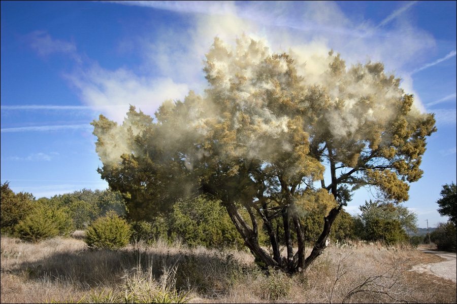 Mountain Cedar | Bad Trees | Tree Choices for the Yard