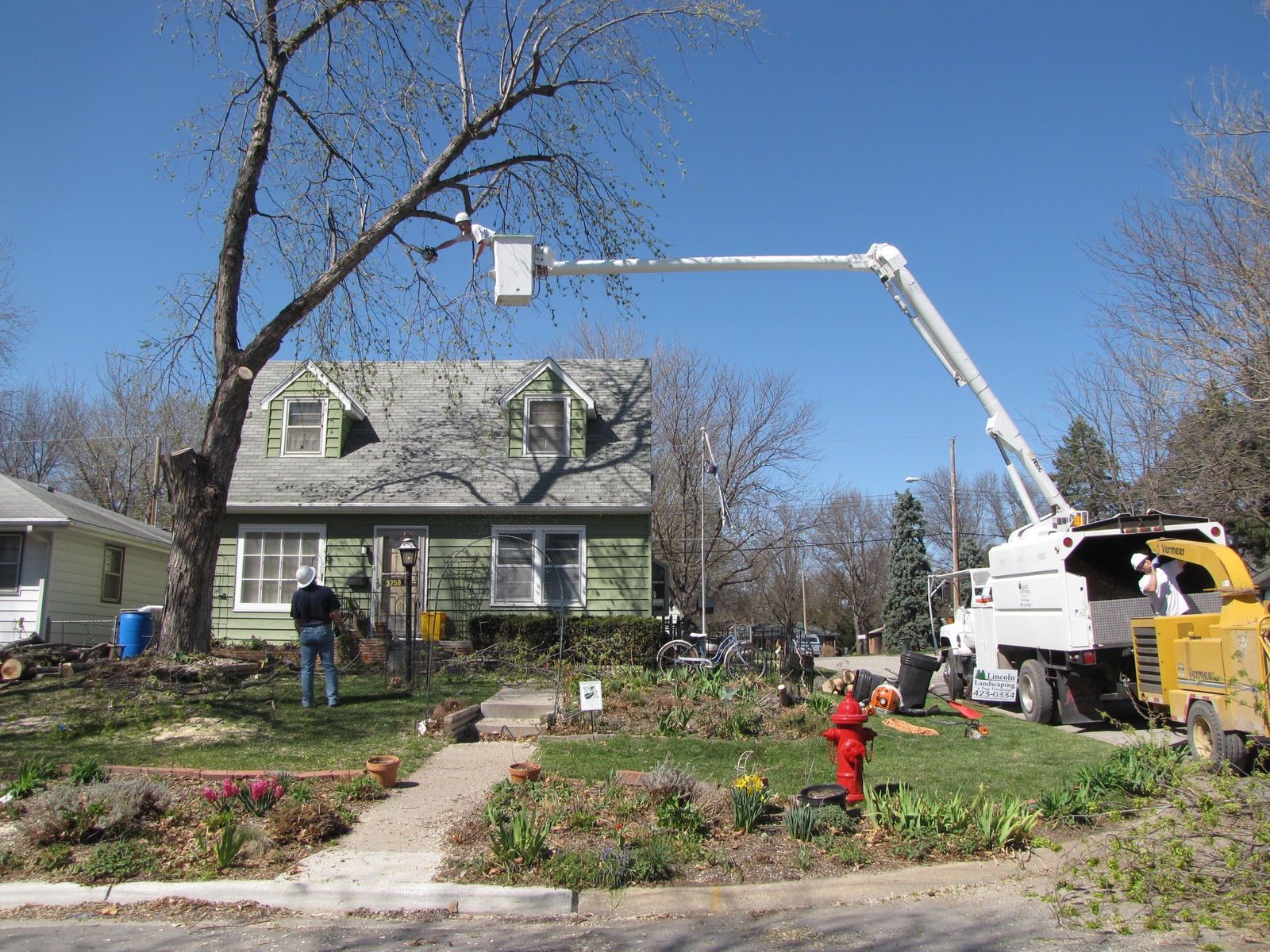 Silver Maple   Bad Trees   Tree Choices for the Yard