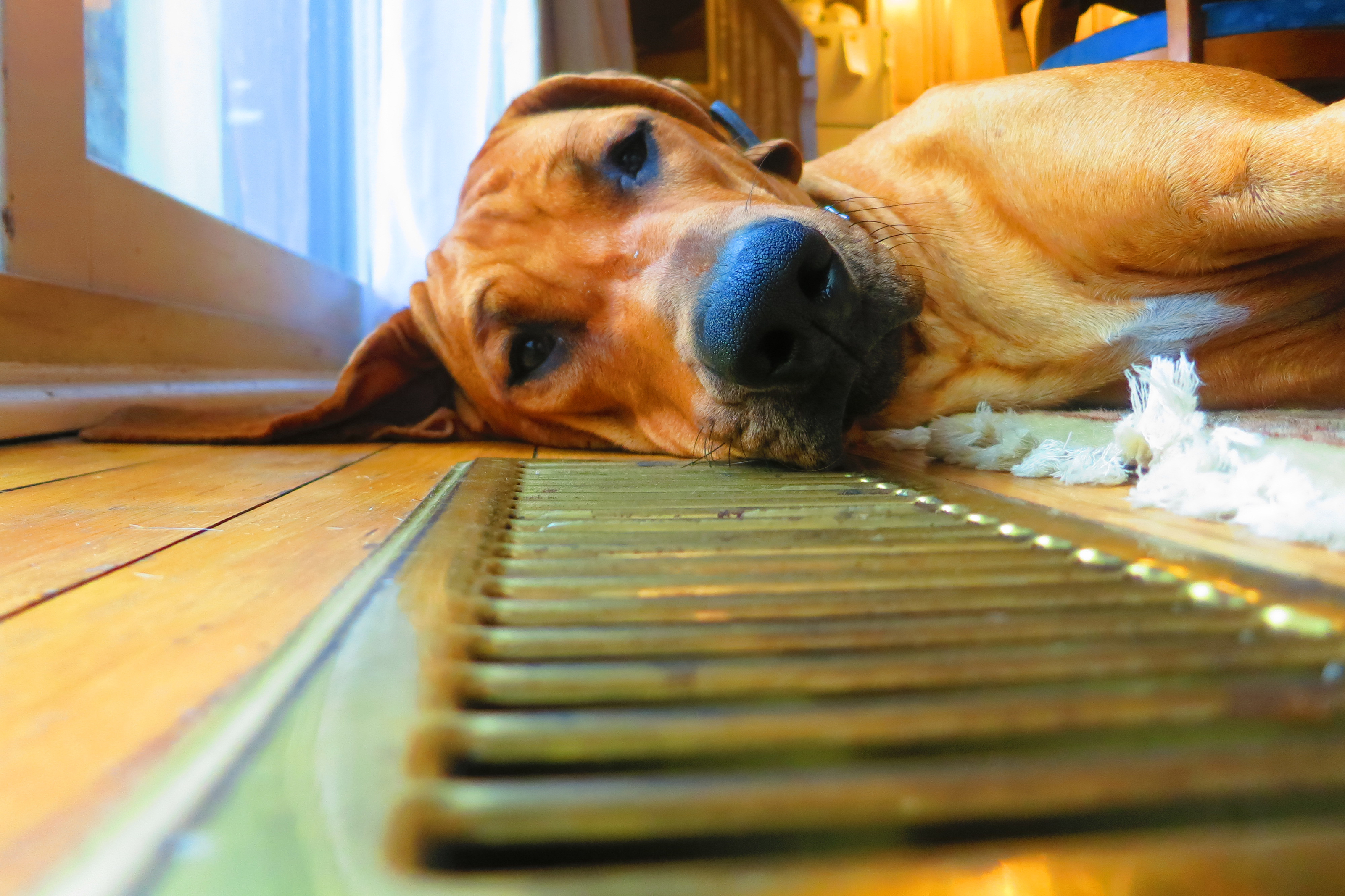 Dog lying down on a wood floor next to an air vent