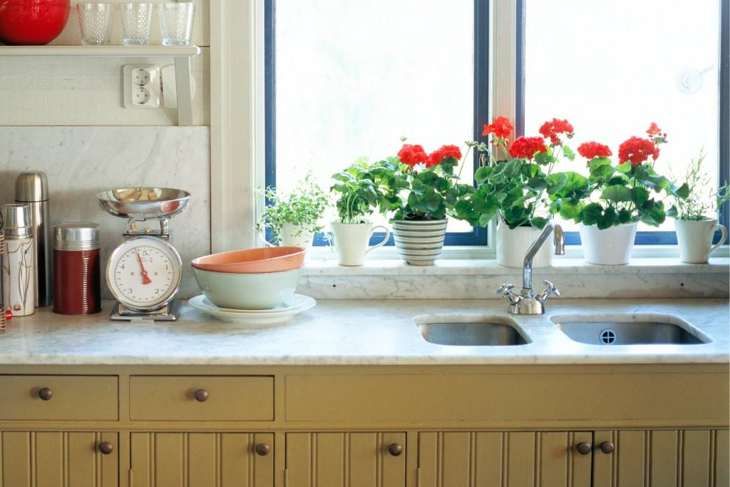 Geranium flowers on a home windowsill