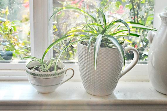 Spider Plant | Best Indoor Plants