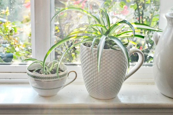 Spider Plant   Best Indoor Plants