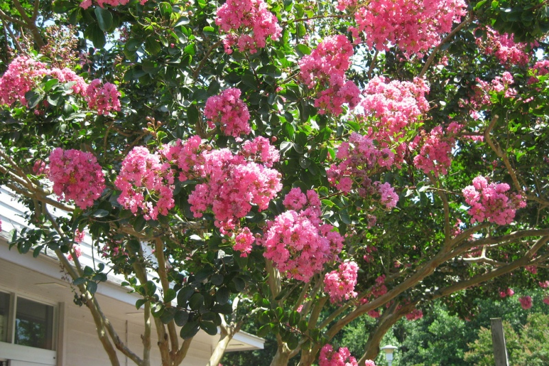 Pink Crape Myrtle in Front of a Home | Best Trees to Plant