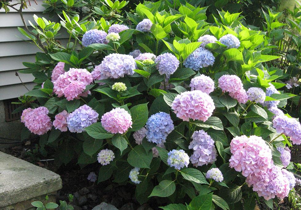 Hydrangea   Best Foundation Plantings