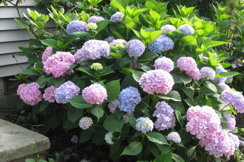 Hydrangea | Best Foundation Plantings