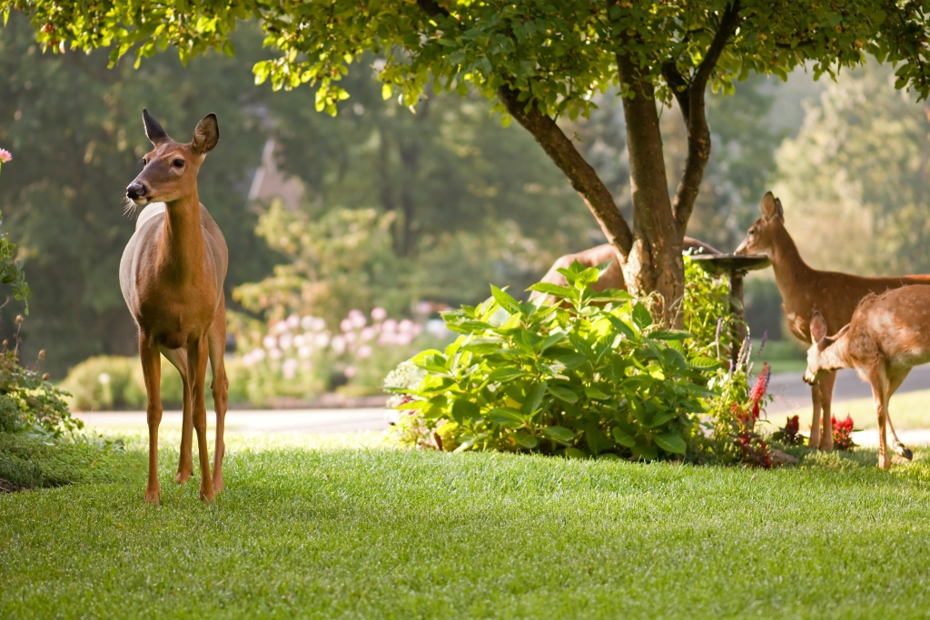 Deer eating landscaping in a home front yard