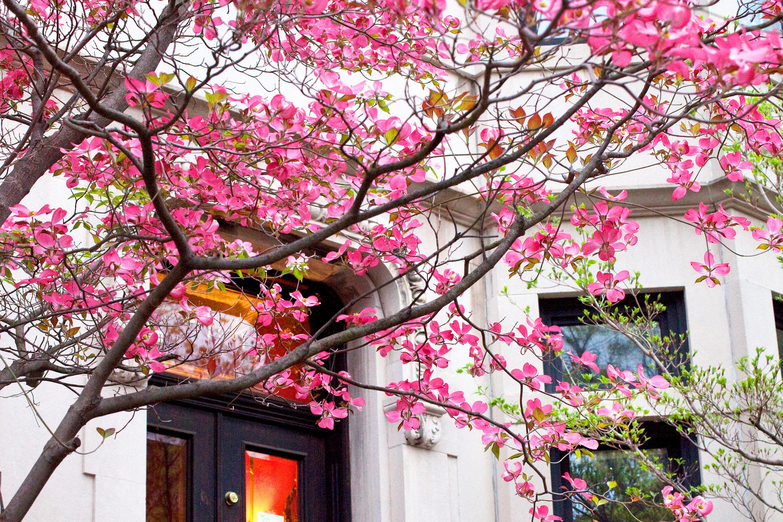 Cherry Blossom Tree Roots Near House