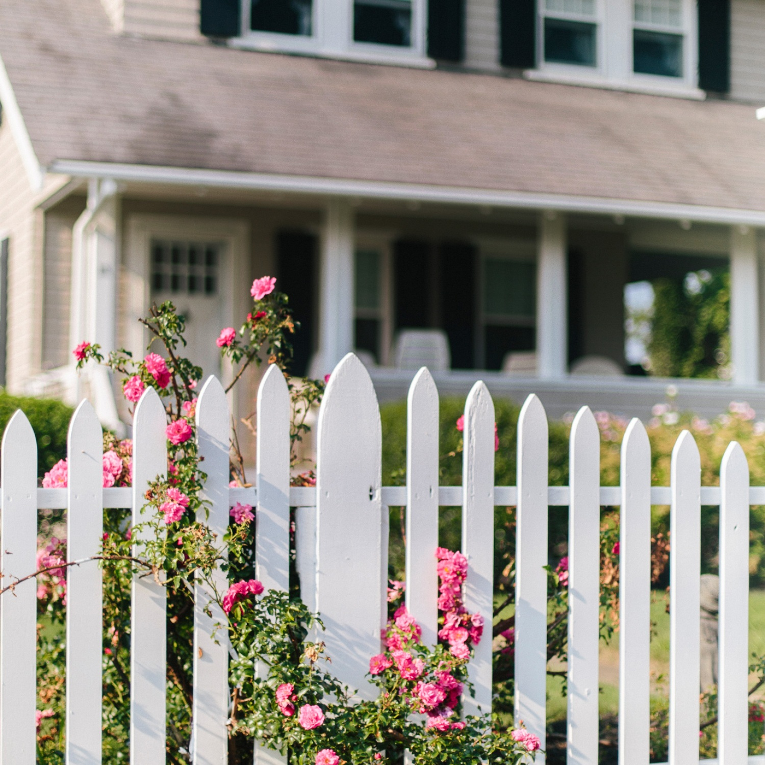 Pink roses climbing on a home's white picket fence