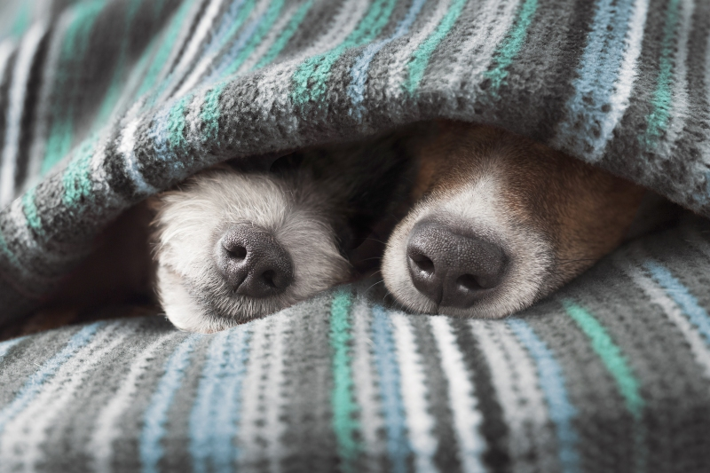 Two dogs underneath a blanket in bed