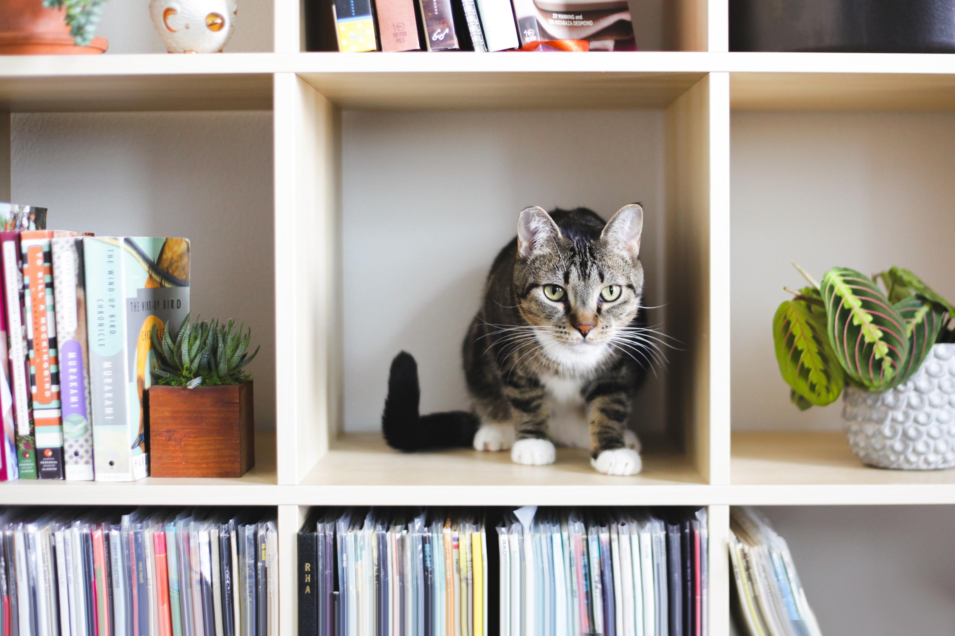 Cat on organized bookshelves