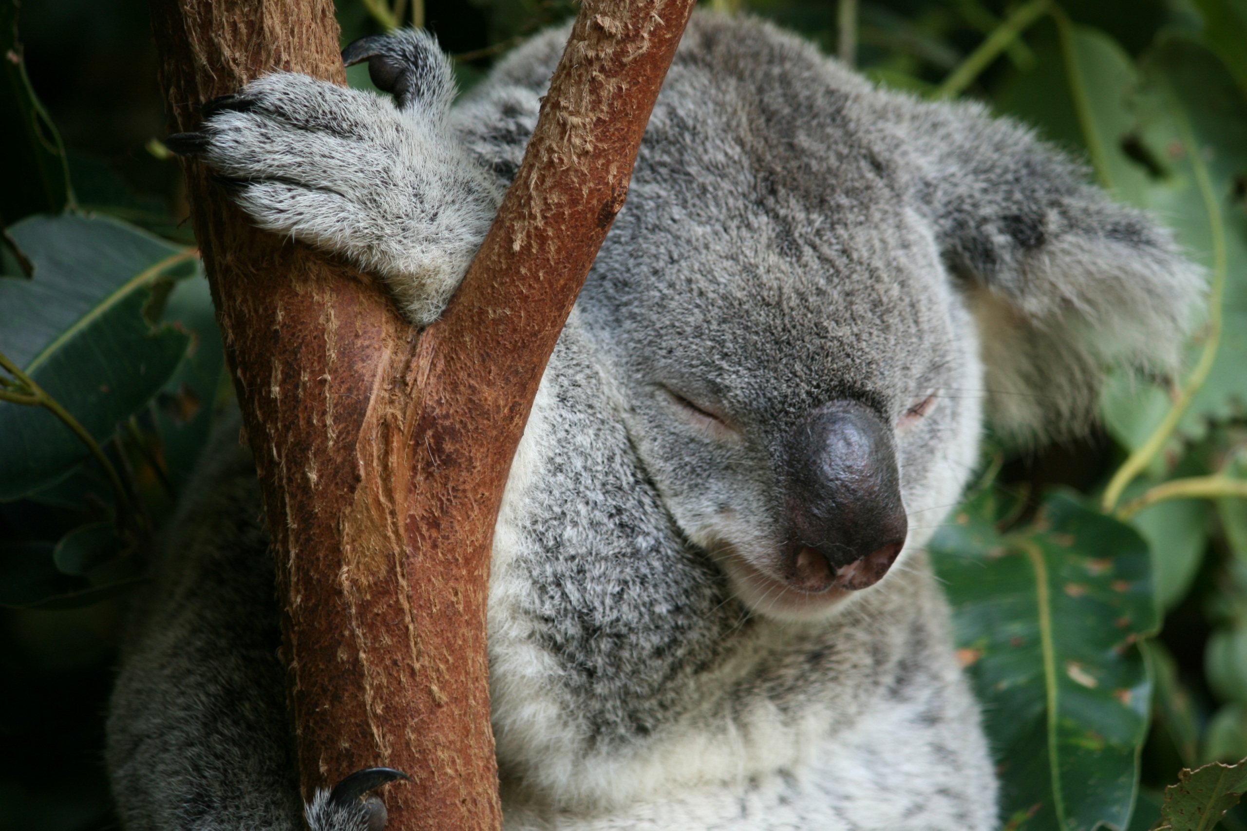 Koala sleeping in a tree