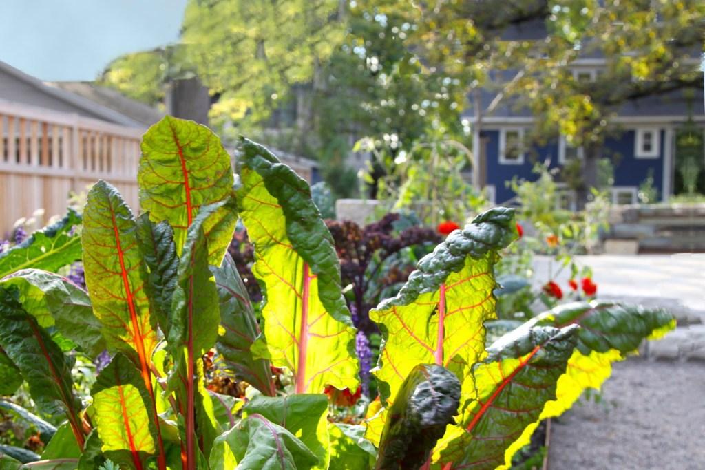 Swiss chard in a home garden