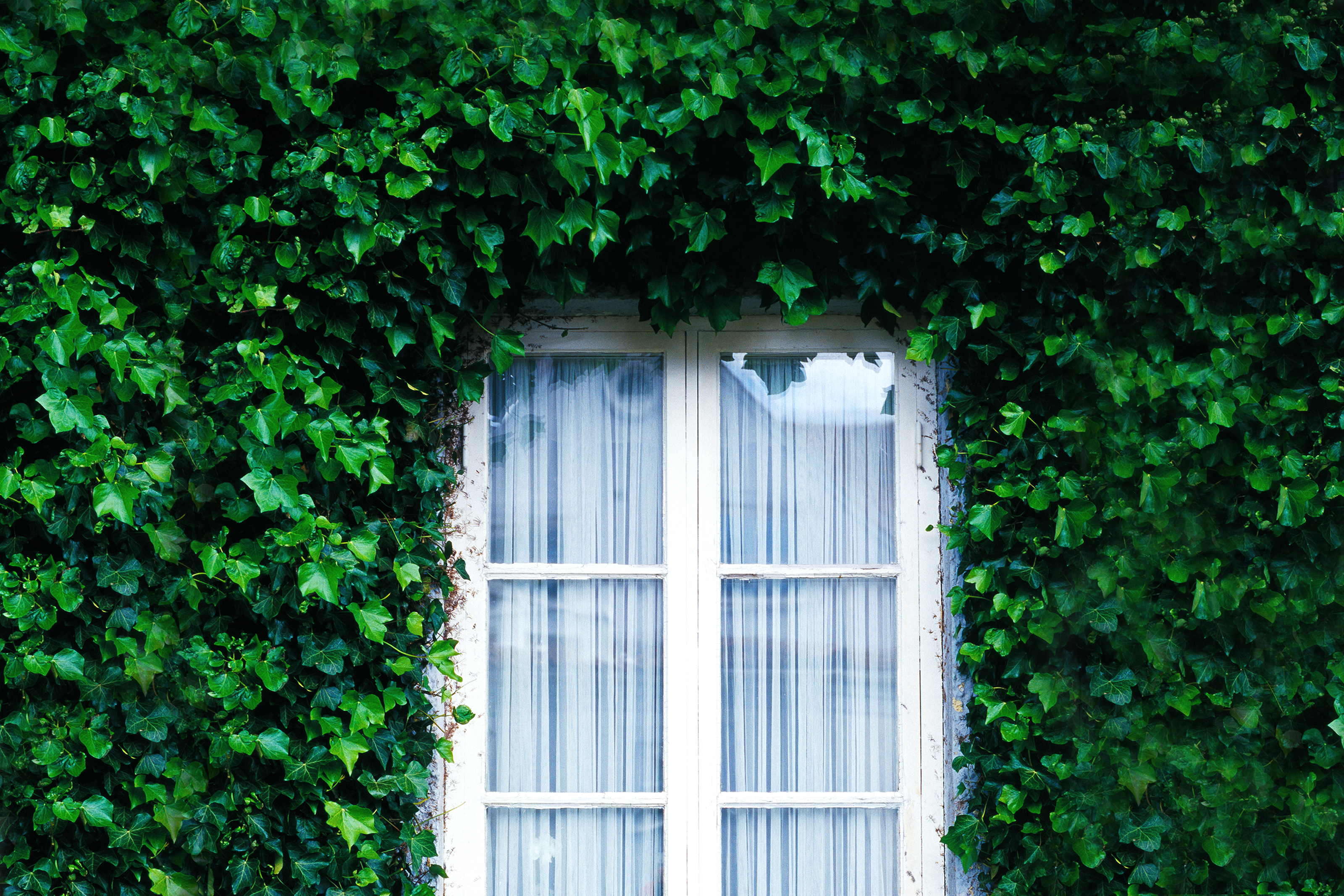 Ivy-covered brick wall of house