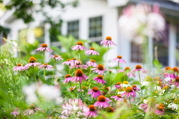 Colorful coneflowers in the yard of a home
