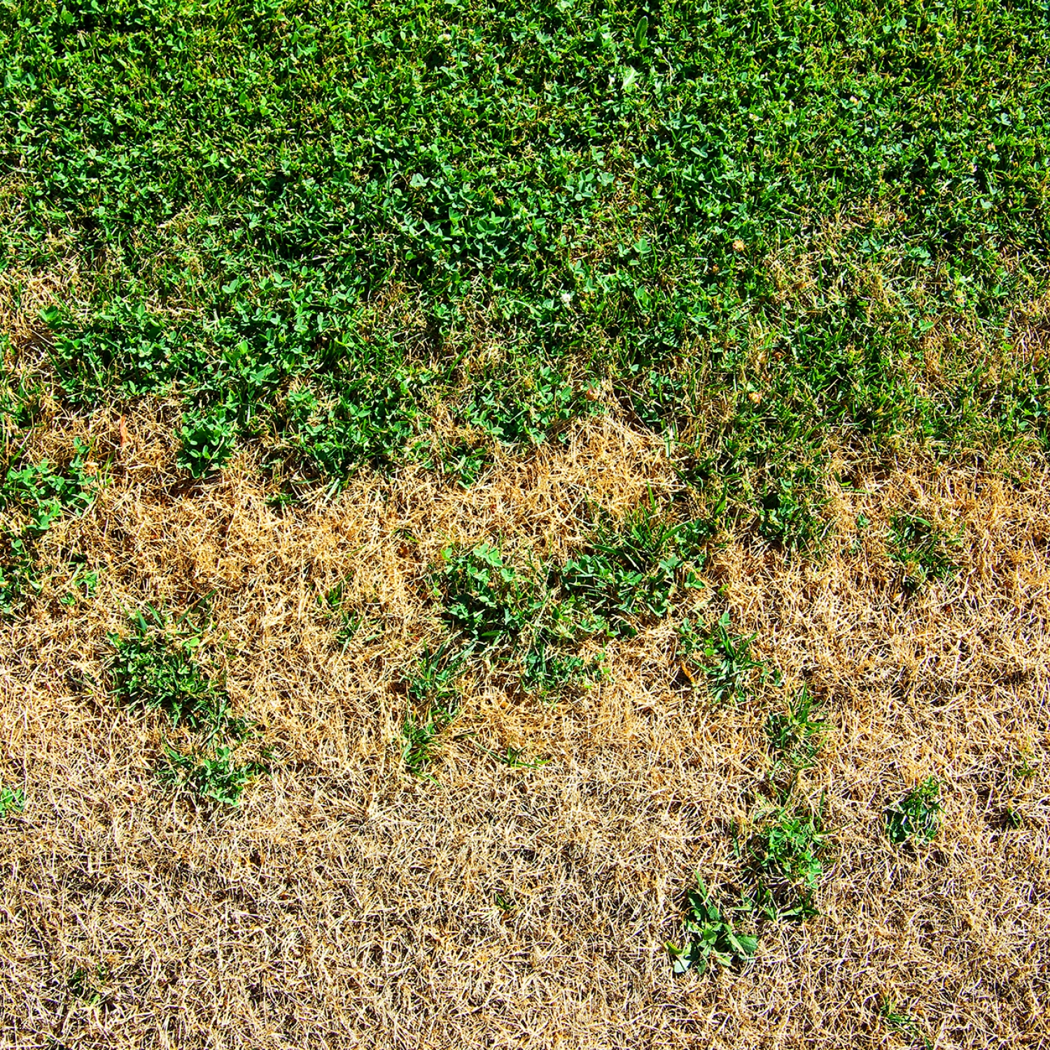 A crunchy, brown lawn thirsty for water