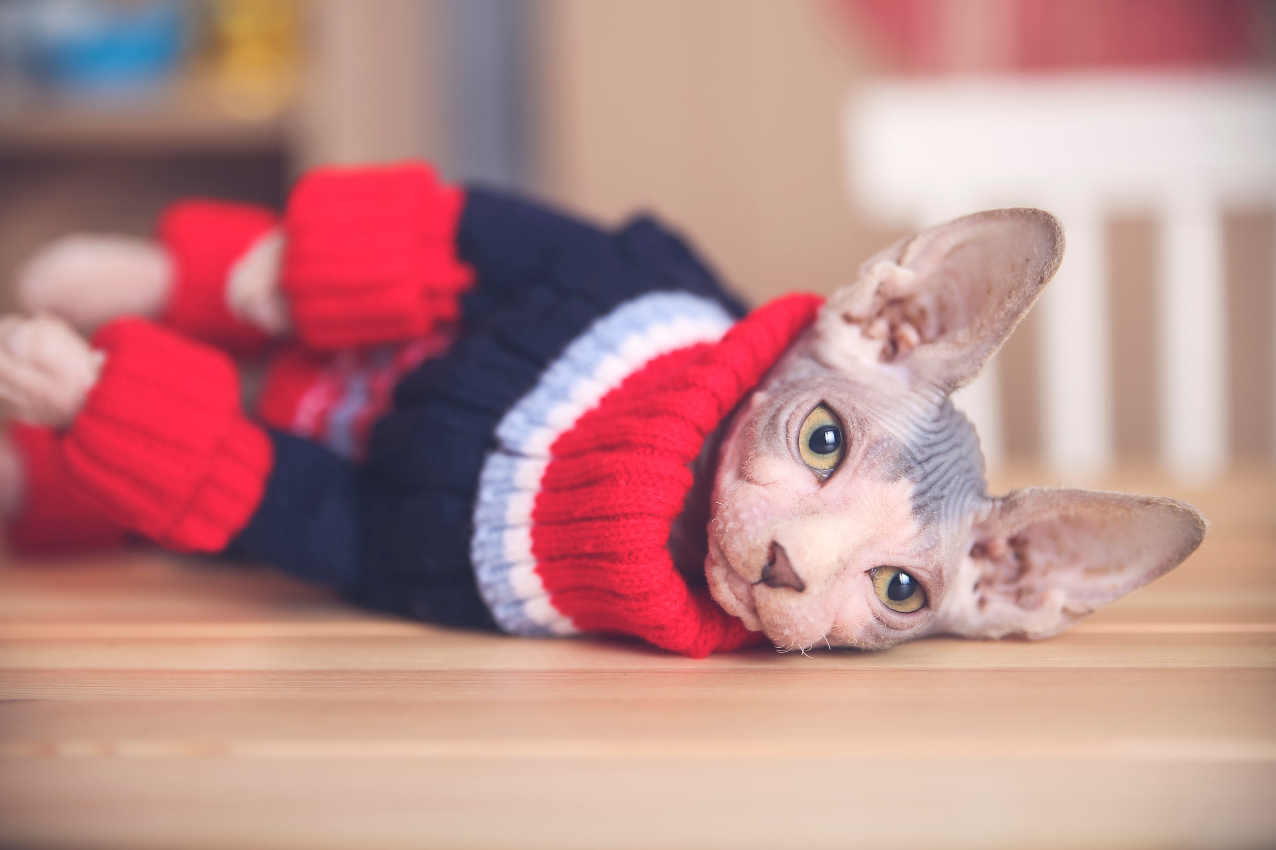 Hairless cat keeping warm in a red and blue sweater