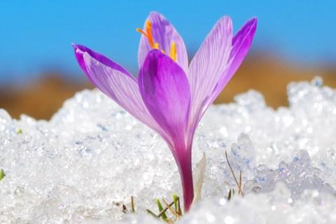 Purple flower peaking through snow against blue sky