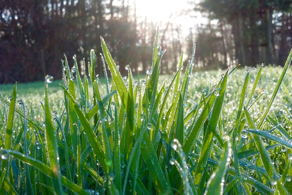 Close up of grass blades covered in dew   Spring Lawn Care