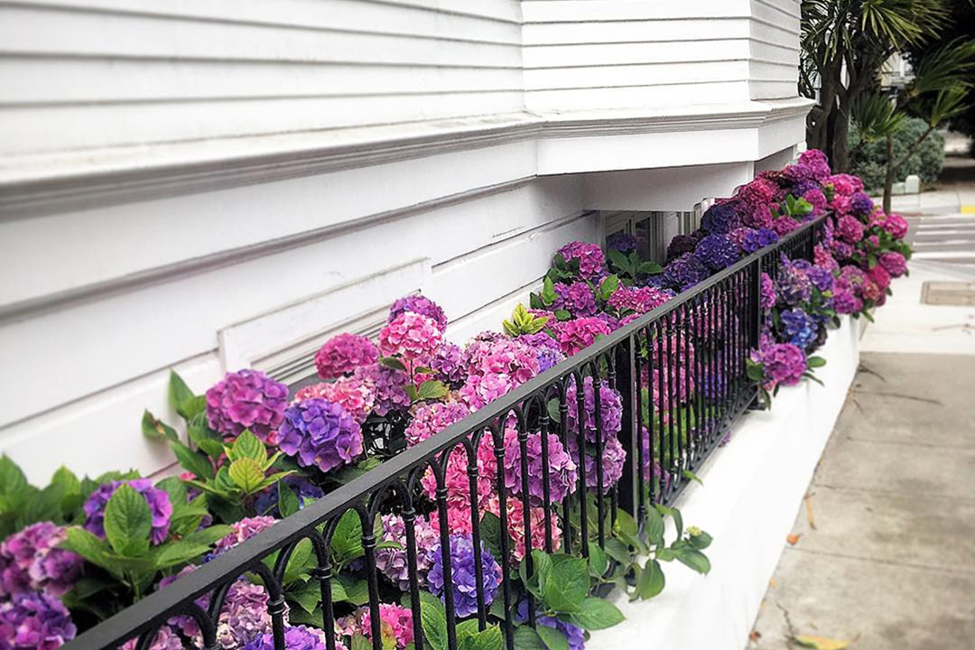 Purple and pink hydrangeas against black fence on white home