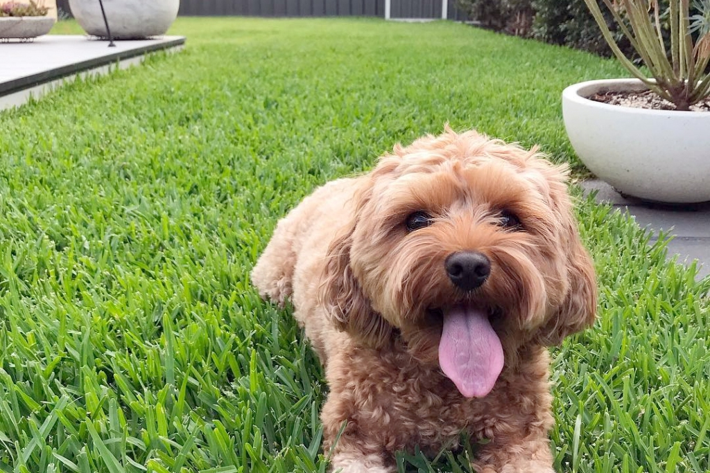 Happy puppy on a yard landscaped for dogs