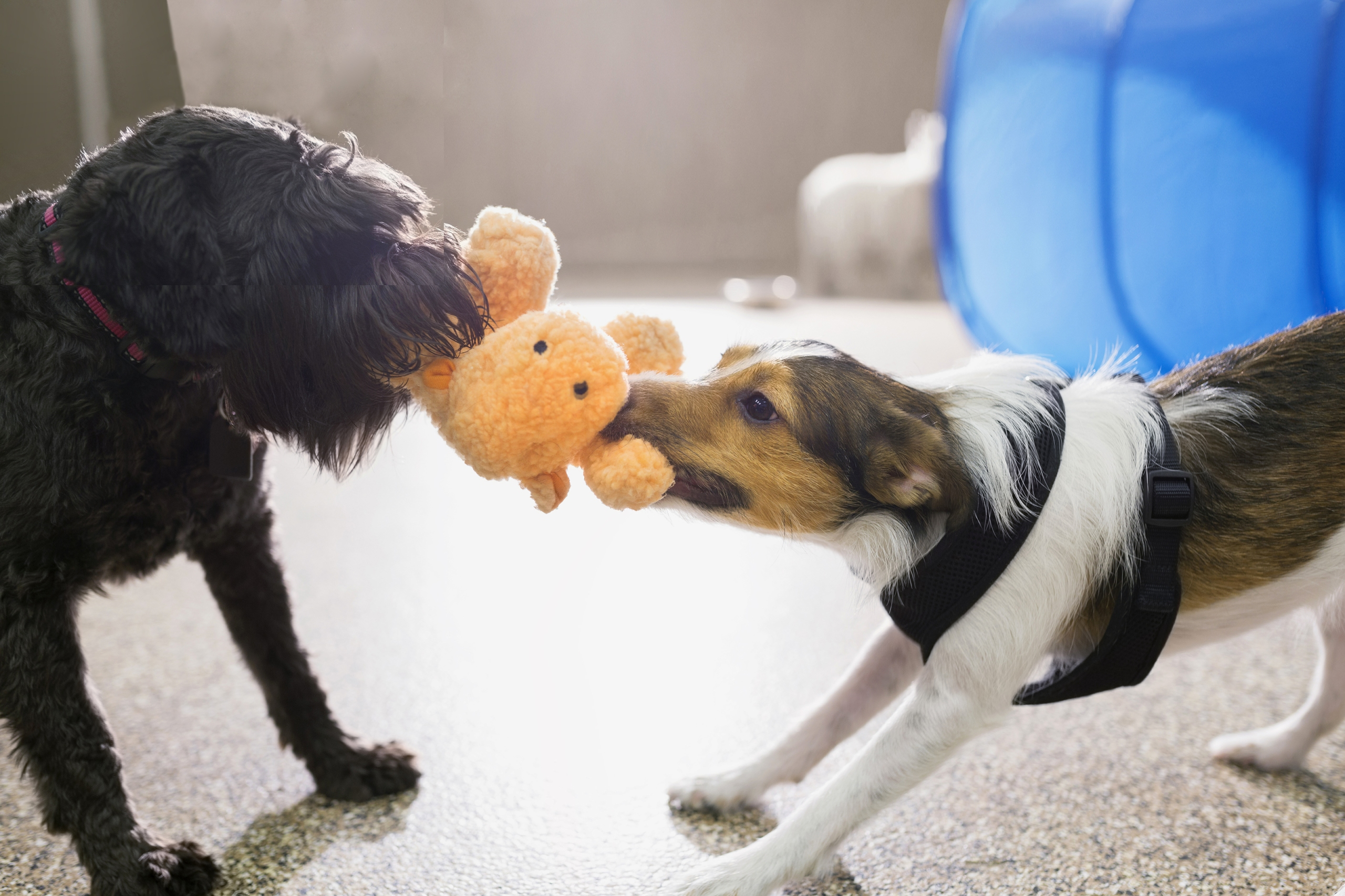 Two dogs fighting over a stuffed animal | Negotiating house price