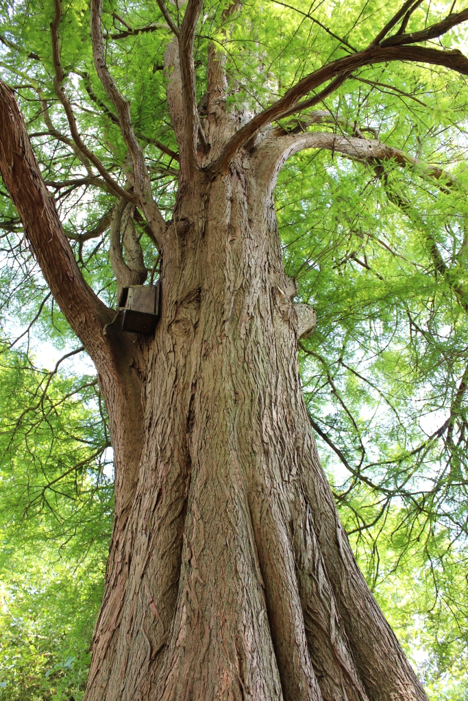 Looking up a bald cypress tree trunk