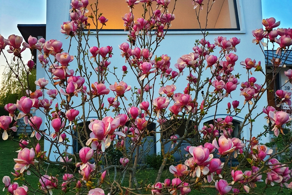 Tulip tree in a home's front yard